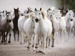 horses-gallop