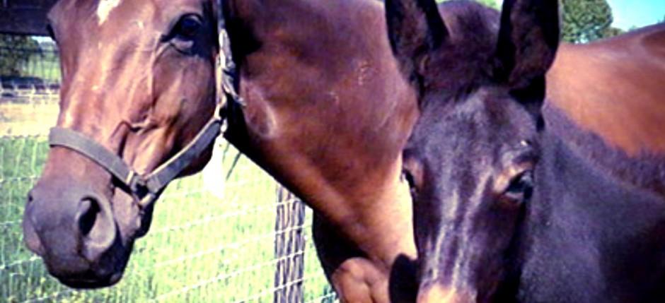horse mule 2
